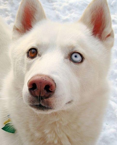 White German Shepherd Husky Mix different eyes